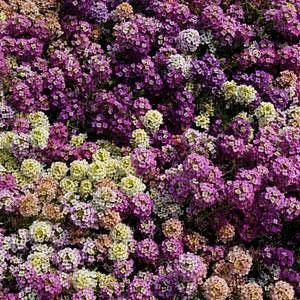 [어린모종]알릿섬(향기)-이스터 보넷 믹스 : 화분지름7cm