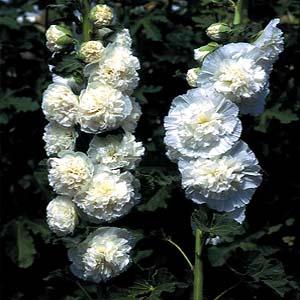 [어린모종]접시꽃(더블)-화이트(대형종) : 화분지름7cm