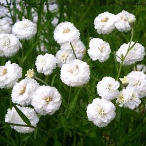[어린모종]톱풀(더블계)-노블레사(화이트) : 화분지름7cm