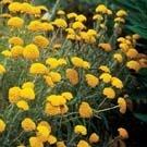 [어린모종]톱풀(야로우)-골든[다년생] : 화분지름7cm