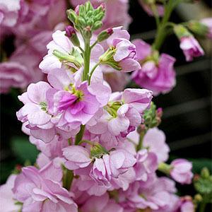 [어린모종]비단향꽃무(스토크)-캣츠 체리블로섬 : 화분지름7cm
