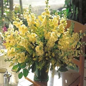 [어린모종]비단향꽃무(스토크)-하모니 크림옐로(소형종) 10개셋트 : 화분지름7cm