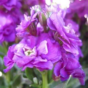[어린모종]비단향꽃무(스토크)-하모니 퍼플(소형종) 10개셋트 : 화분지름7cm