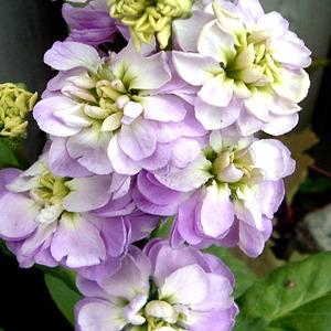 [어린모종]비단향꽃무(스토크)-미드젯 라벤다(소형종) 10개셋트 : 화분지름7cm